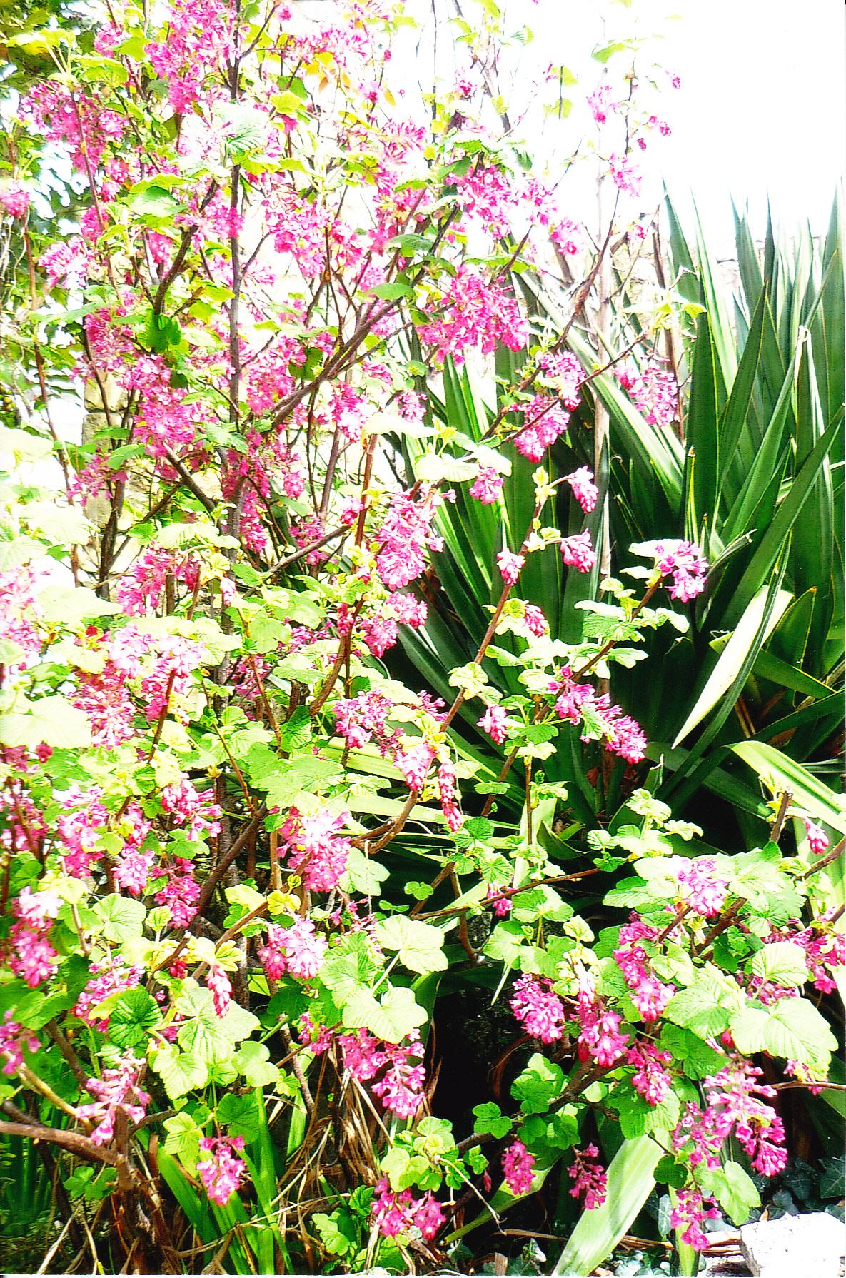 fleurs d avril euphorbes panouies groseilliers pour le parfum pervenches hostas etc. Black Bedroom Furniture Sets. Home Design Ideas